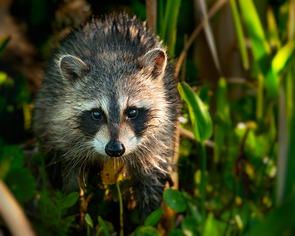 Critter Removal Services - Critters - Raccoon Removal