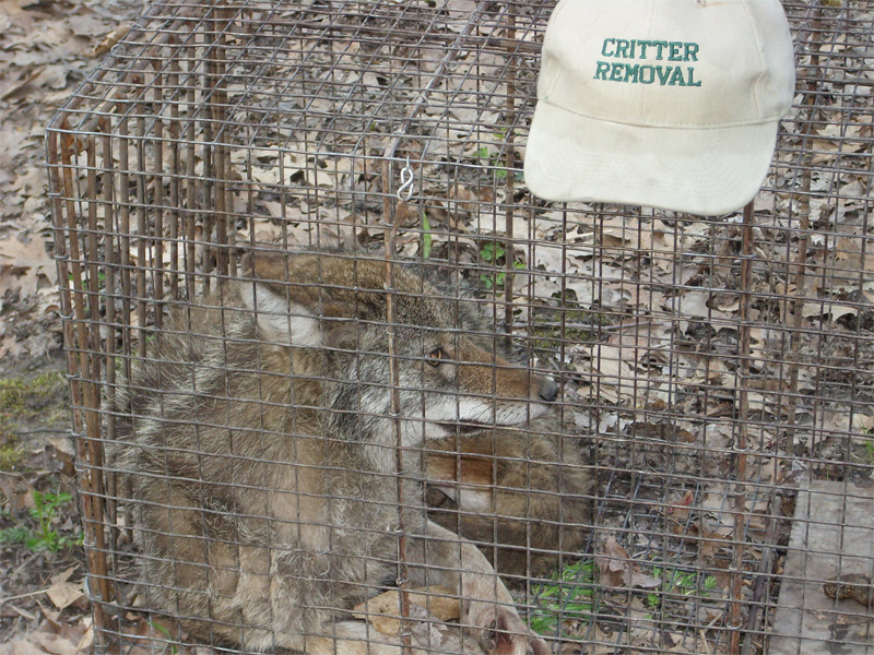 Critter Removal - Coyote Removal