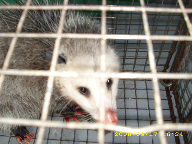 Critter Removal - Opossum Removal