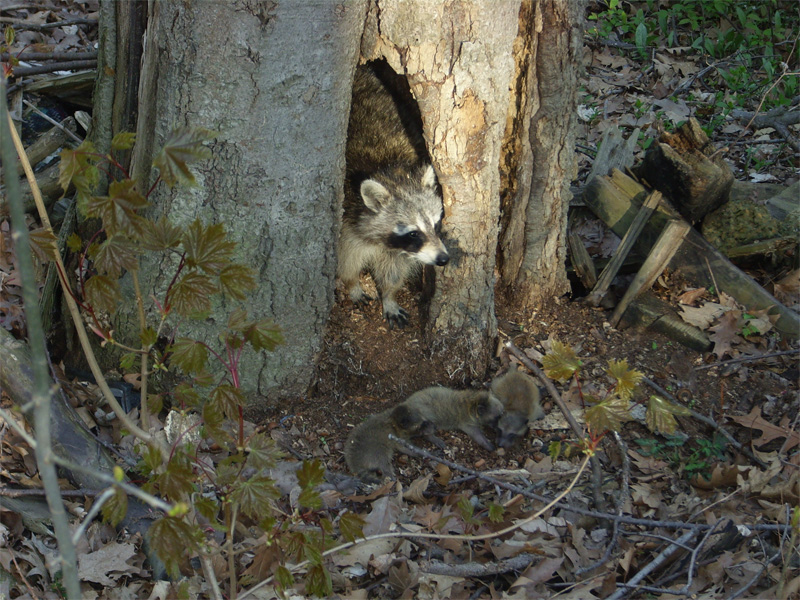 Critter Removal - Raccoon Removal