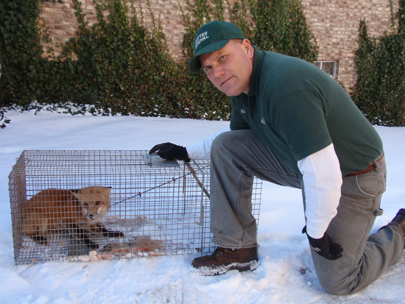 Critter Removal - Red Fox Removal