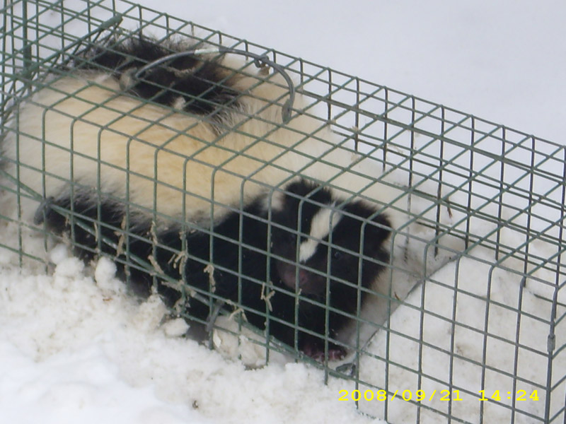 Critter Removal - Skunk Removal