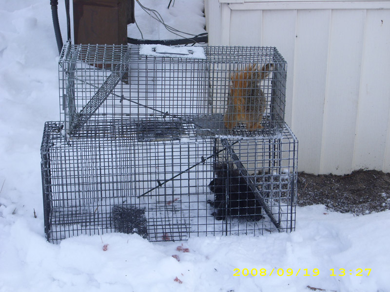 Critter Removal - Squirrel Removal