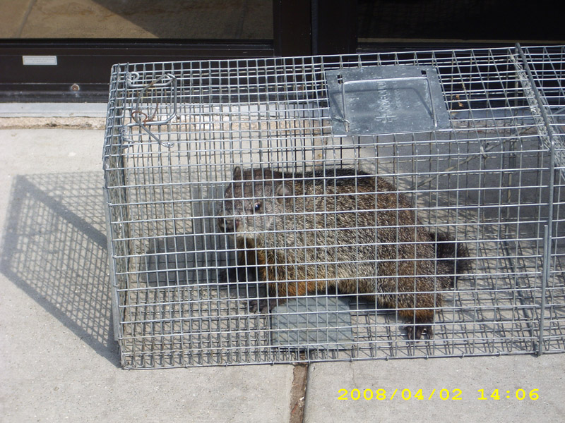 Critter Removal - Woodchuck and Groundhog Removal